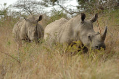 White Rhinoceros. Two white rhinos on their way Stock Photography