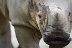 White Rhinoceros. An African White Rhinoceros calf Royalty Free Stock Photos