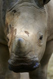 White Rhinoceros. An African White Rhinoceros calf Stock Photo