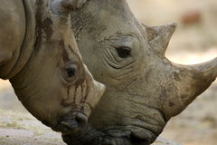 White Rhinoceros. An African White Rhinoceros calf and its mother Stock Photography