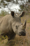 White Rhinoceros. White rhinos (Ceratotherium simum) on its way Stock Photography