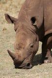 White Rhinoceros Royalty Free Stock Photos