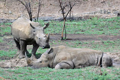 White Rhinoceros. Royalty Free Stock Photography