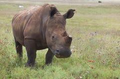 Free White Rhinoceros Royalty Free Stock Photos - 40883268