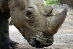 White Rhinoceros. Also called: square-lipped rhinoceros Stock Image