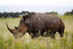 White rhinoceros. Ceratotherium simum simum on the plain of entabeni game reserve welgevonden waterberg limpopo province south africa Stock Photo
