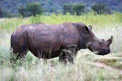 White rhinoceros. Ceratotherium simum simum on the plain of entabeni game reserve welgevonden waterberg limpopo province south africa Stock Photos