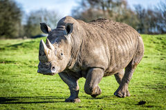 Free White Rhinoceros Royalty Free Stock Photo - 48453595