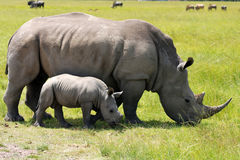 White rhinoceros with 5 weeks calf. White rhinoceros is larger than the black rhino.It can reach speeds of up to 40 km/h Stock Photos