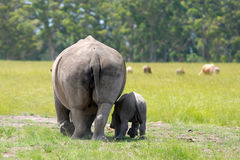 White rhinoceros with 5 weeks calf Royalty Free Stock Photos