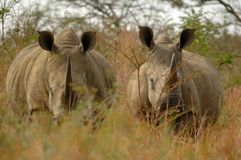 White Rhinoceros. Two white rhinos (Ceratotherium simum) on their way (South Africa Royalty Free Stock Images