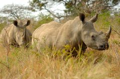 White Rhinoceros. Two white rhinos (Ceratotherium simum) on their way (South Africa Royalty Free Stock Photography