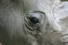 White Rhinoceros. Eye of a White Rhinoceros, also called: square-lipped rhinoceros royalty free stock image