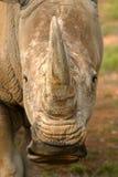 White Rhinoceros Stock Photography
