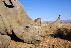 White rhinoceros. Side portrait of white rhinoceros Royalty Free Stock Image