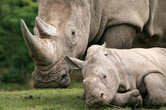 White Rhinoceros. Mother and calf, focus on the calf Royalty Free Stock Photography