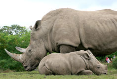 White Rhinoceros. Summer afternoon in the ZOO; Rhino mother and calf Royalty Free Stock Images