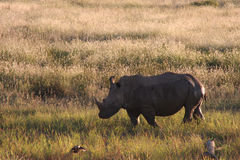 White Rhinoceros. Living in the wilderness in Africa Royalty Free Stock Image