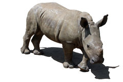 White Rhinoceros. Living in the wilderness in Africa Royalty Free Stock Photos