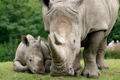 White Rhinoceros. ZOO, White Rhinoceros - mother and calf Royalty Free Stock Photo