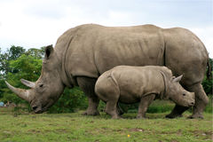 White Rhinoceros. Mother and calf Stock Photo