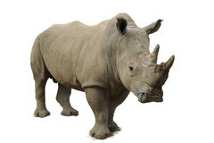 White Rhinoceros. Adult White Rhinoceros standing strong Stock Photos