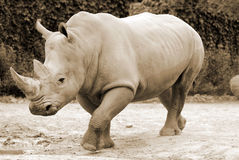 The white rhinoceros. Rhinoceros also known as rhino, is a group of five extant species of odd-toed ungulates in the family Rhinocerotidae. Two of these species Royalty Free Stock Photography
