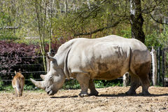 White Rhinoceros And Kafue Lechwe Royalty Free Stock Photography