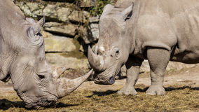 White Rhinoceros. Baby white rhinoceros are playing in Zoo Salzburg, Austria royalty free stock images