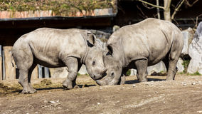 White Rhinoceros Stock Images