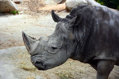 White rhinoceros Stock Photos