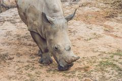 White rhinoceros in the beautiful nature. Wild animals in captivity. Prehistoric and endangered species in zoo royalty free stock photo