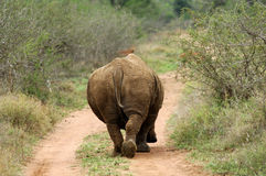 White Rhinoceros from behind Royalty Free Stock Images