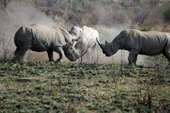 Rhino bulls fighting in Pilanesberg National Park. White rhinoceros bulls fighting in Pilanesberg National Park, South Africa Stock Photos