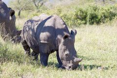 White Rhinoceros calf eating in the shade Stock Photos