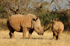 White rhinoceros and calf - South Africa. White rhinoceros Ceratotherium simum with calf in natural habitat, South Africa Royalty Free Stock Photo