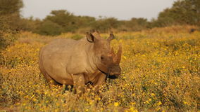 White rhinoceros and calf Stock Photography