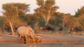 White rhinoceros and calf stock video