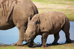 White rhinoceros calf walking on the waterside Stock Image