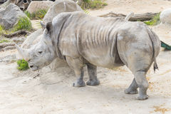 White rhinoceros calm and relaxed, Ceratotherium simum.  Royalty Free Stock Image