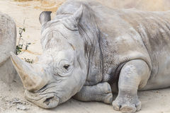 White rhinoceros calm and relaxed, Ceratotherium simum.  Stock Photography