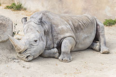 White rhinoceros calm and relaxed, Ceratotherium simum royalty free stock photography