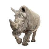 White Rhinoceros - Ceratotherium simum ( +/- 10 years). White Rhinoceros or Square-lipped rhinoceros - Ceratotherium simum ( +/- 10 years) in front of a white Royalty Free Stock Image