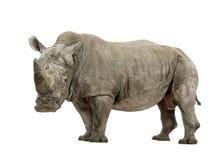 White Rhinoceros - Ceratotherium simum ( +/- 10 years). White Rhinoceros or Square-lipped rhinoceros - Ceratotherium simum ( +/- 10 years) in front of a white Stock Images