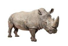 White Rhinoceros - Ceratotherium simum ( +/- 10 years). White Rhinoceros or Square-lipped rhinoceros - Ceratotherium simum ( +/- 10 years) in front of a white Stock Photo