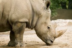 White Rhinoceros - Ceratotherium simum. Next to the elephant, the white rhino is the largest land mammal and can weigh up to 3.6 metric tons. Its two horns are Royalty Free Stock Photo