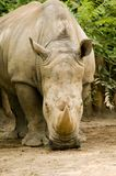 White Rhinoceros - Ceratotherium simum Royalty Free Stock Photography
