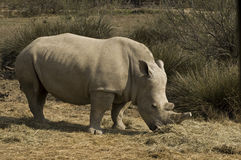 White rhinoceros (Ceratotherium simum). A grazing white rhino bull Stock Photos