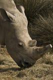 White rhinoceros (Ceratotherium simum). Portrait of a white rhino Royalty Free Stock Photos