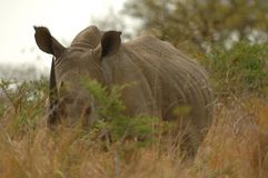 White Rhinoceros (Ceratotherium simum) Stock Photography